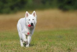 swiss-shepherd-dog-354526_1920-c8945194